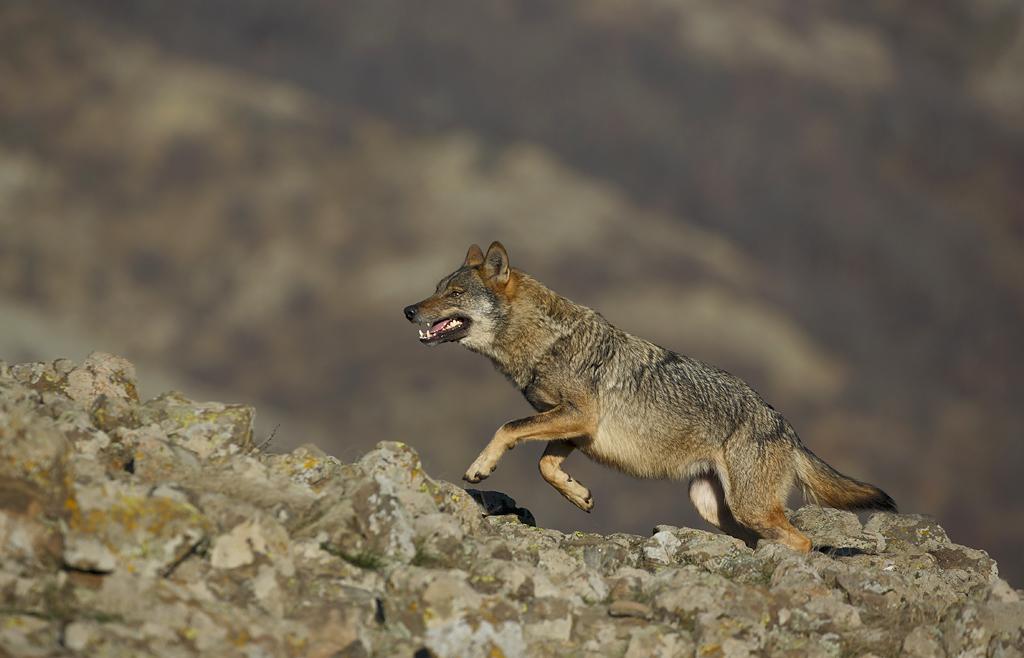 Gray Wolf by BogdanBoev