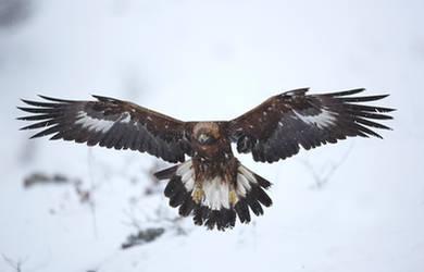 Golden Eagle landing by BogdanBoev