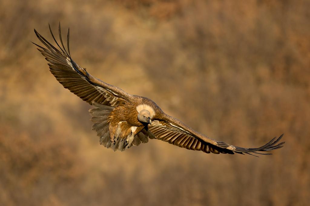 Griffon Vulture by BogdanBoev
