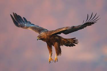 Golden Eagle by BogdanBoev