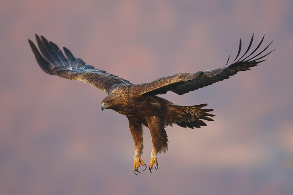 Golden Eagle by BogdanBoev