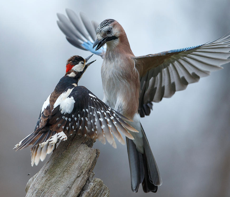 Arguing birds by BogdanBoev