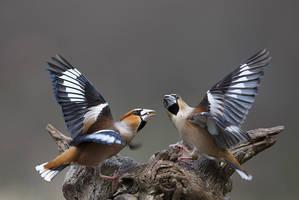Hawfinches by BogdanBoev