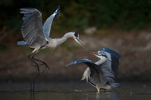 Matrix fight herons by BogdanBoev