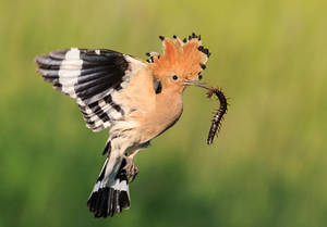 Hoopoe with scolopendra