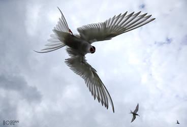 Arctic tern by BogdanBoev