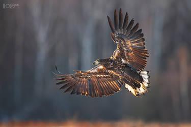 Last light eagle