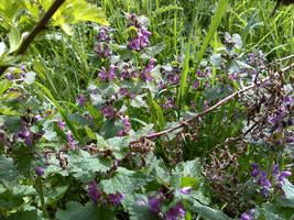Purple Lamium