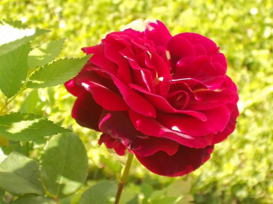 pretty flower. by zafara on deviantart, Beautiful flower