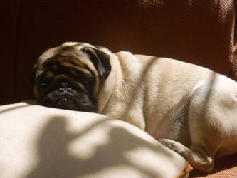 Lazy Pug Carlino by DISMOTRON