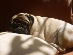 Lazy Pug Carlino