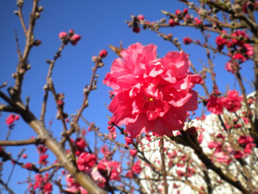 Dark pink cherry blossoms by animeangel778 on deviantart dark pink cherry blossoms by animeangel778 mightylinksfo