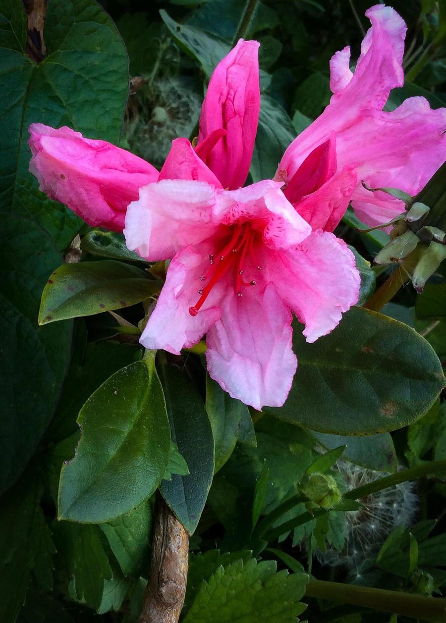 Pink Dragon By Bulldogstoy On Deviantart