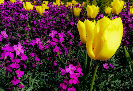Yellow in Purple