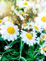 Daisy Whites