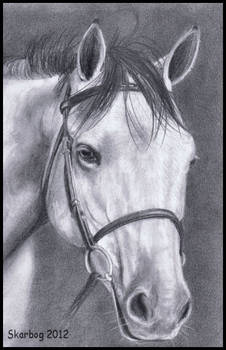 Portrait of a gray Thoroughbred