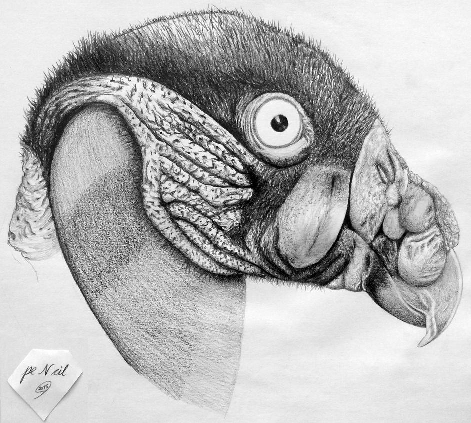 King Vulture by pencilir