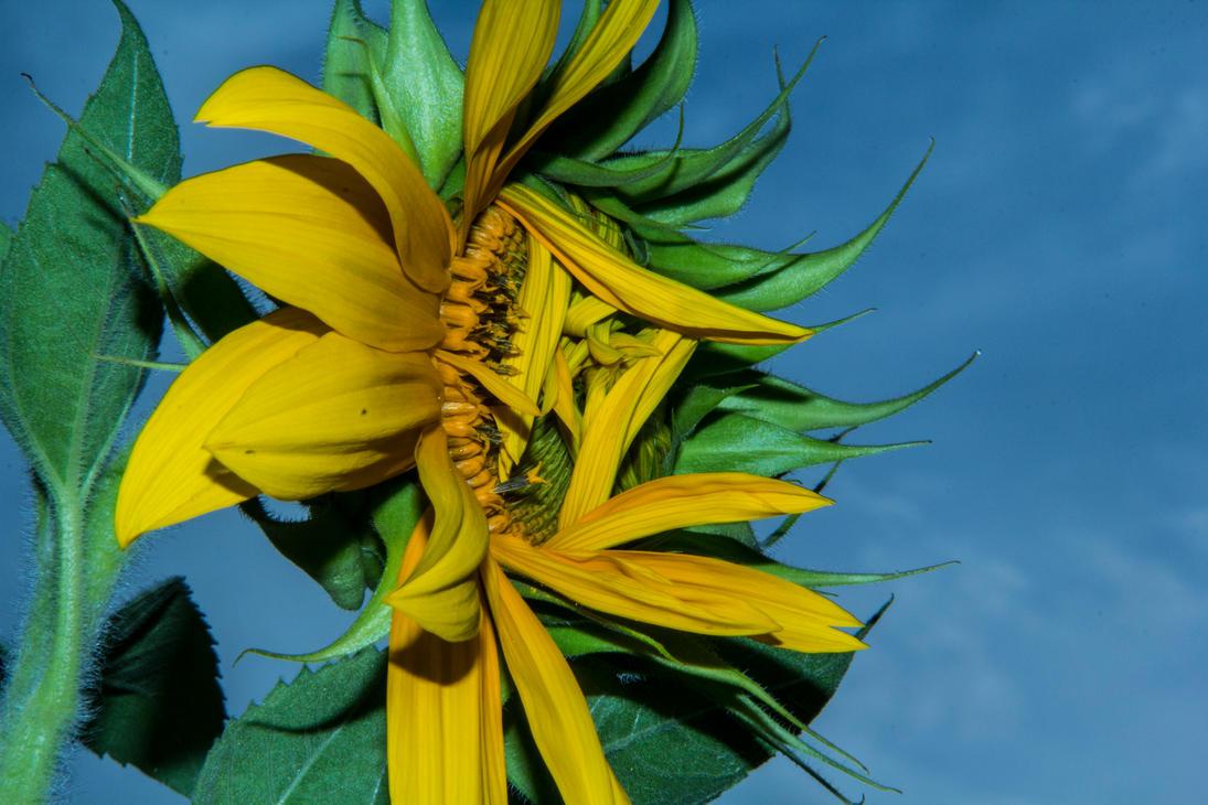 Sunflower1-2 by MDLuffy28