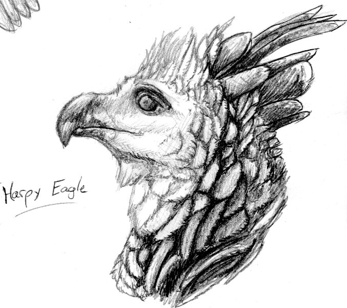 Harpy Eagle sketch by nightwindwolf95