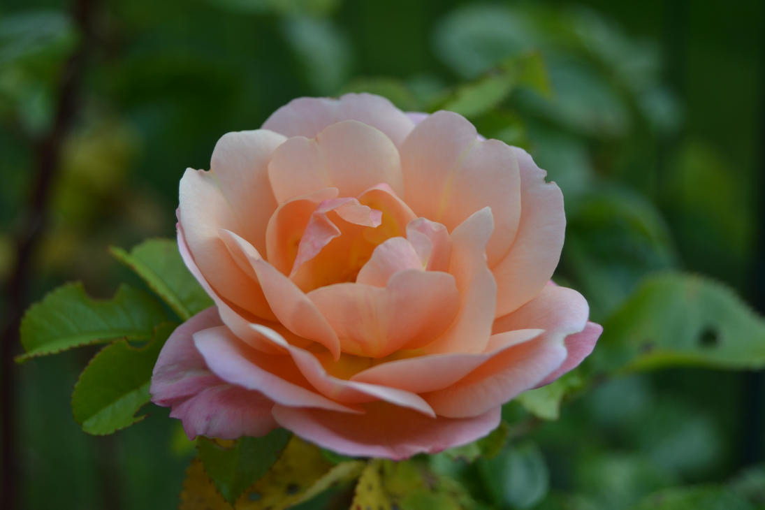 October rose by TeodoCake