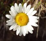 big daisy by pirouel