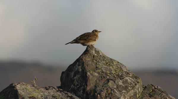 high perch by pirouel