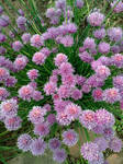 Chives-02