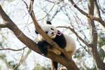 Panda Stock