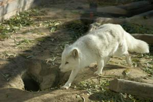 Arctic Fox 2 by xSoCassiex
