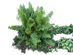 fern png stock