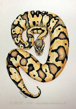 Ball Python  - Watercolour Painting. - FOR SALE.