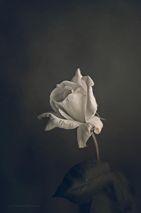 Rose by yavuzselimturan