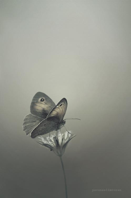 Butterfly by yavuzselimturan
