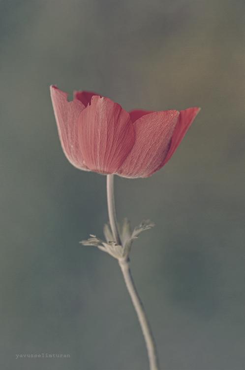 Tulip by yavuzselimturan