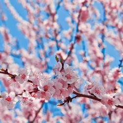 Blossom by nnivrim