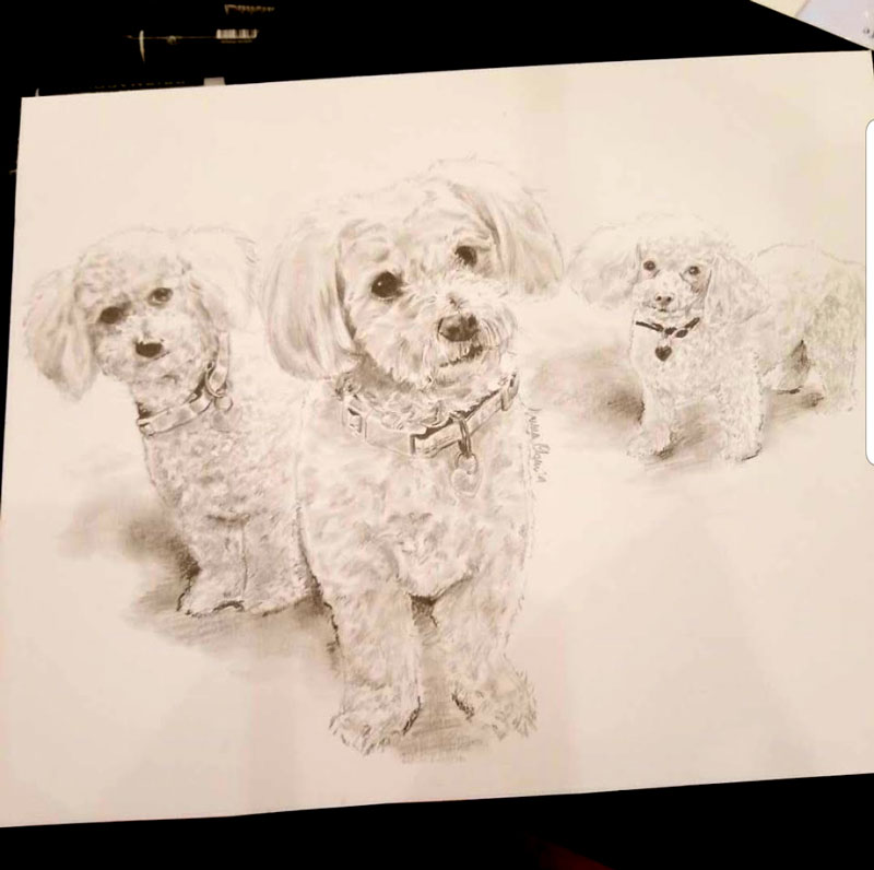 Three Bichon Frises