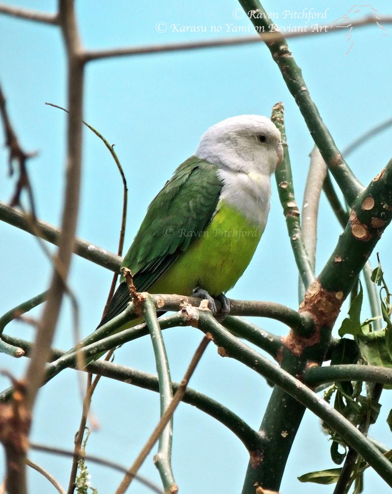 Madagascar Lovebird (Male) by Karasu-no-Yami