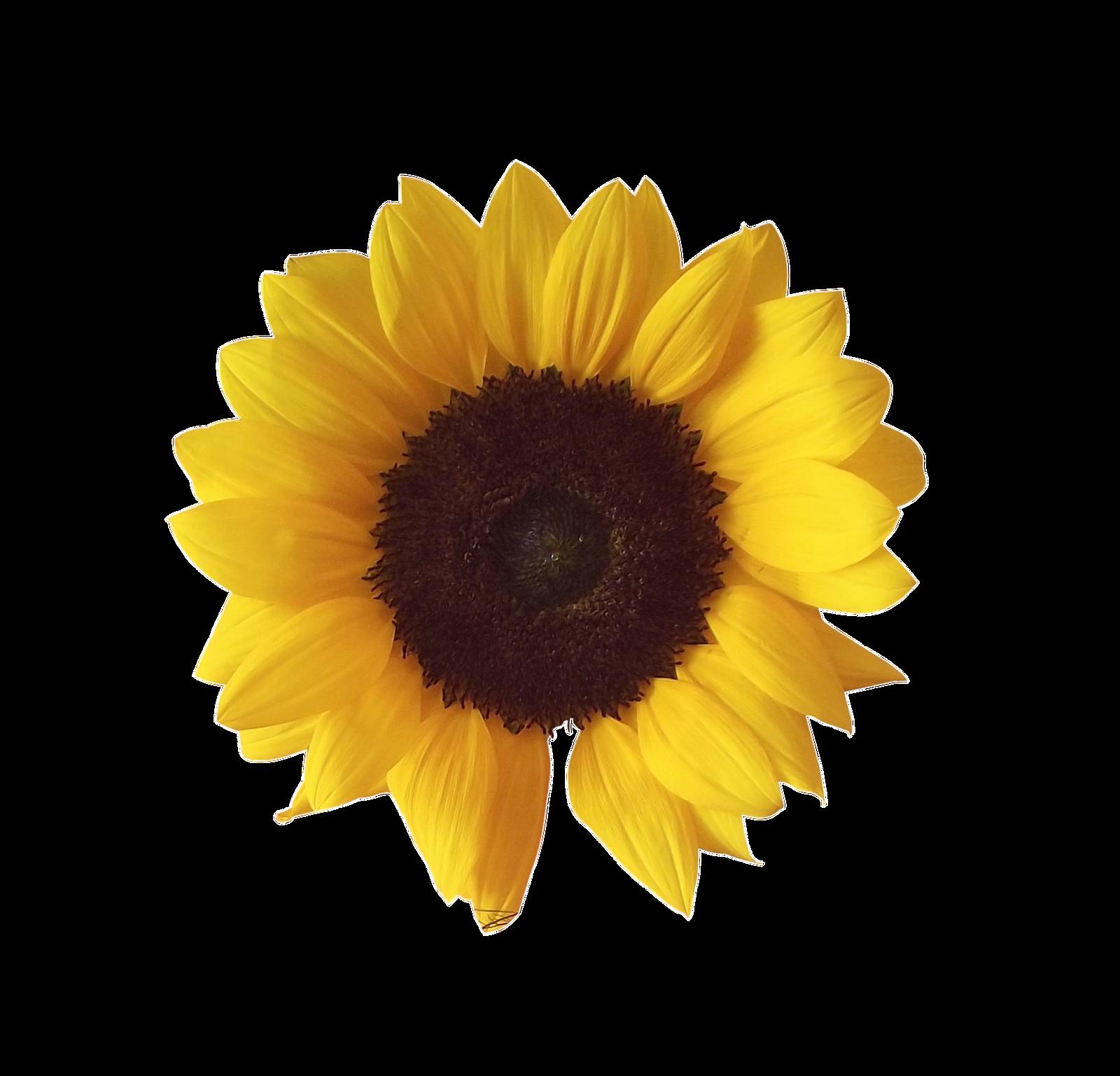 Sunflower Frame Png Sunflower Png by Adagem