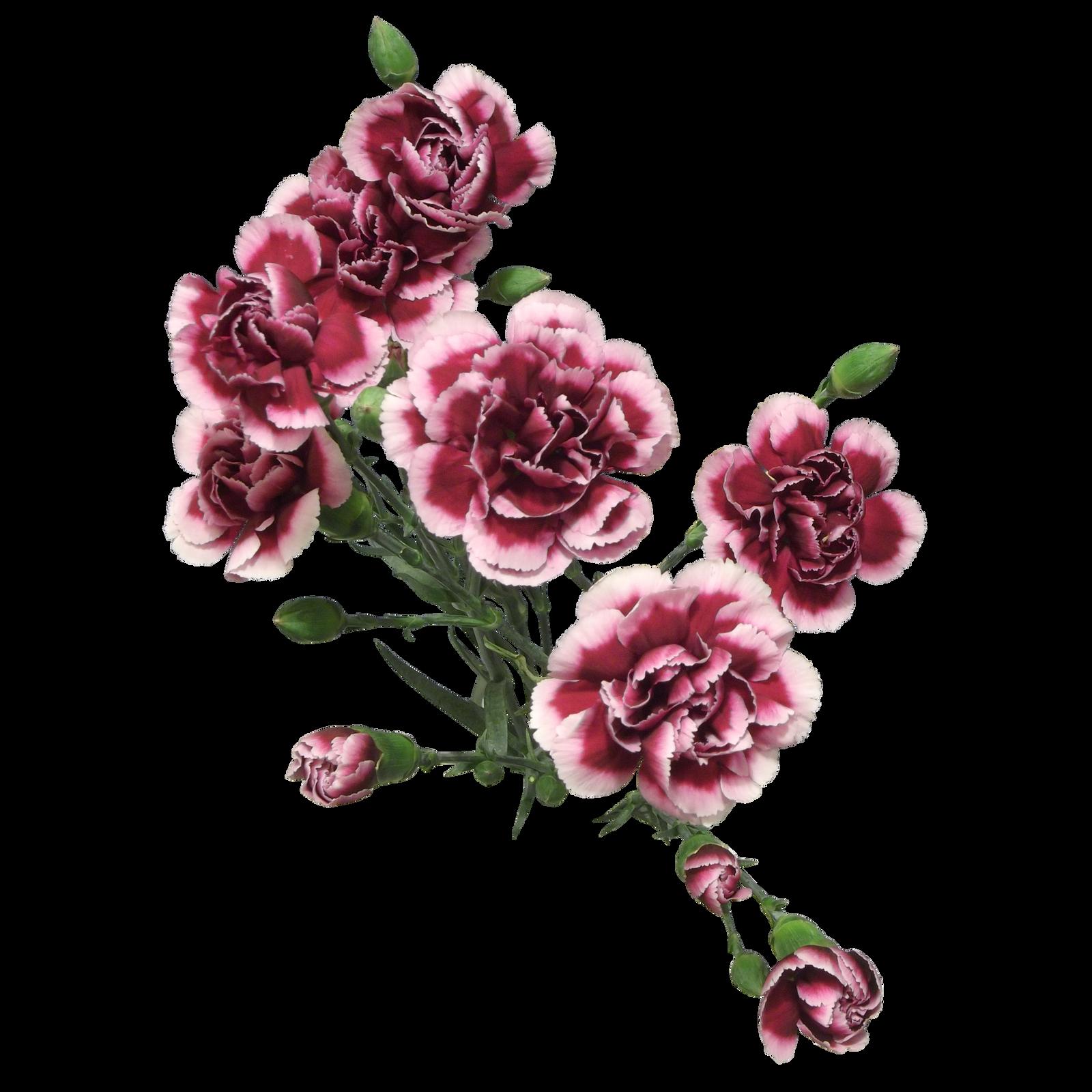 Cut Flowers Carnation png by Adagem on DeviantArt