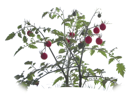 Cherry tomatoes png