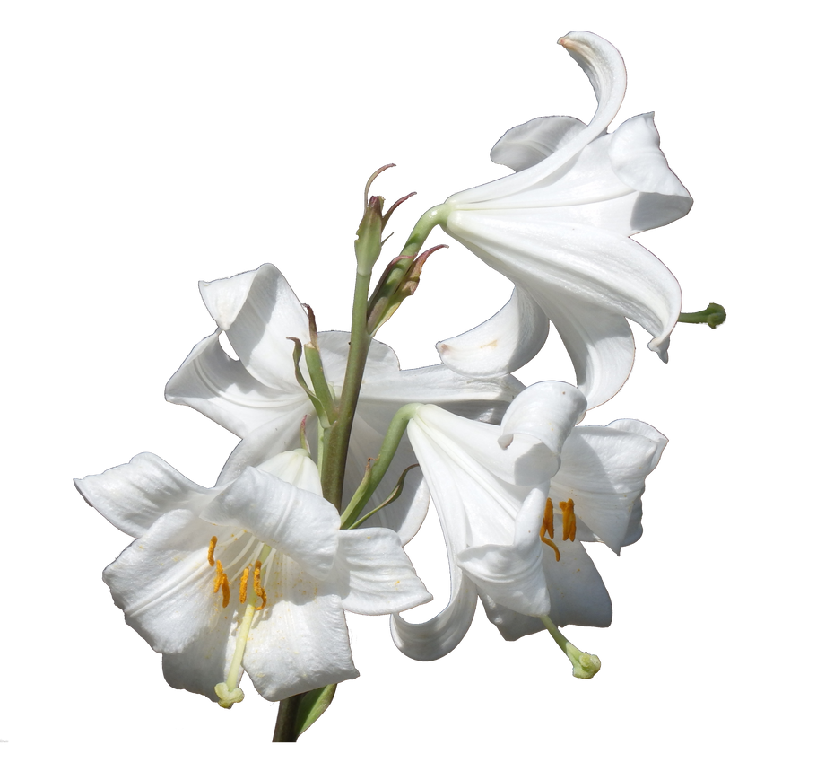 Lilies png by Adagem