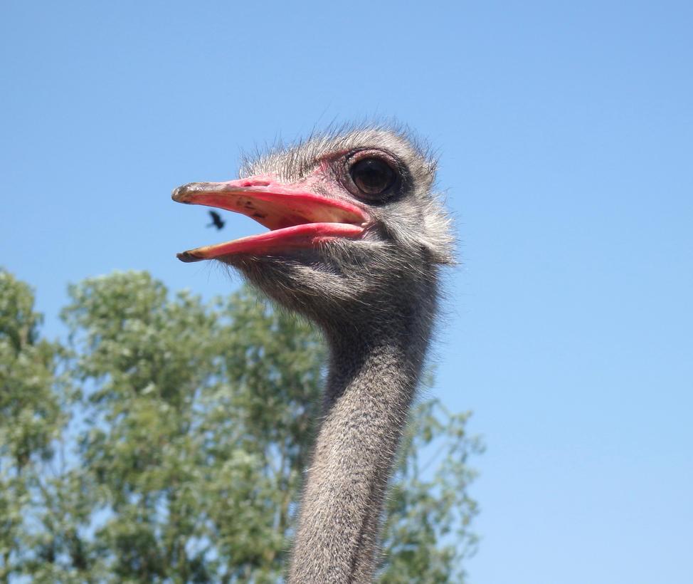Ostrich by Adagem