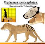 Thylacinus cynocephalus model