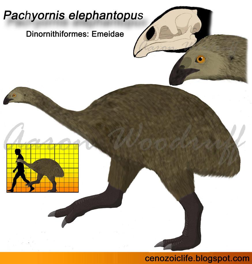 Pachyornis elephantopus by CenozoicKing