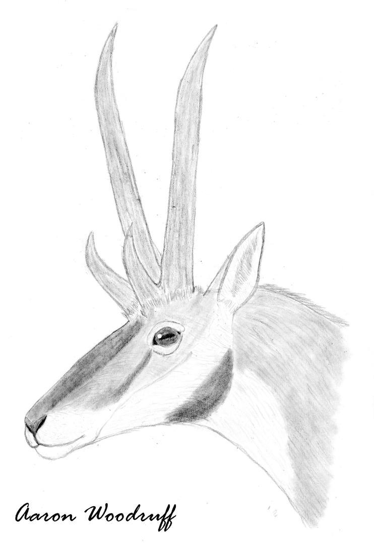 30-minute Tetrameryx shuleri sketch by CenozoicKing