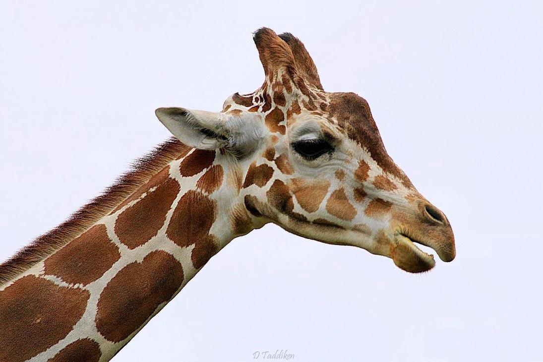 Giraffe Profile by