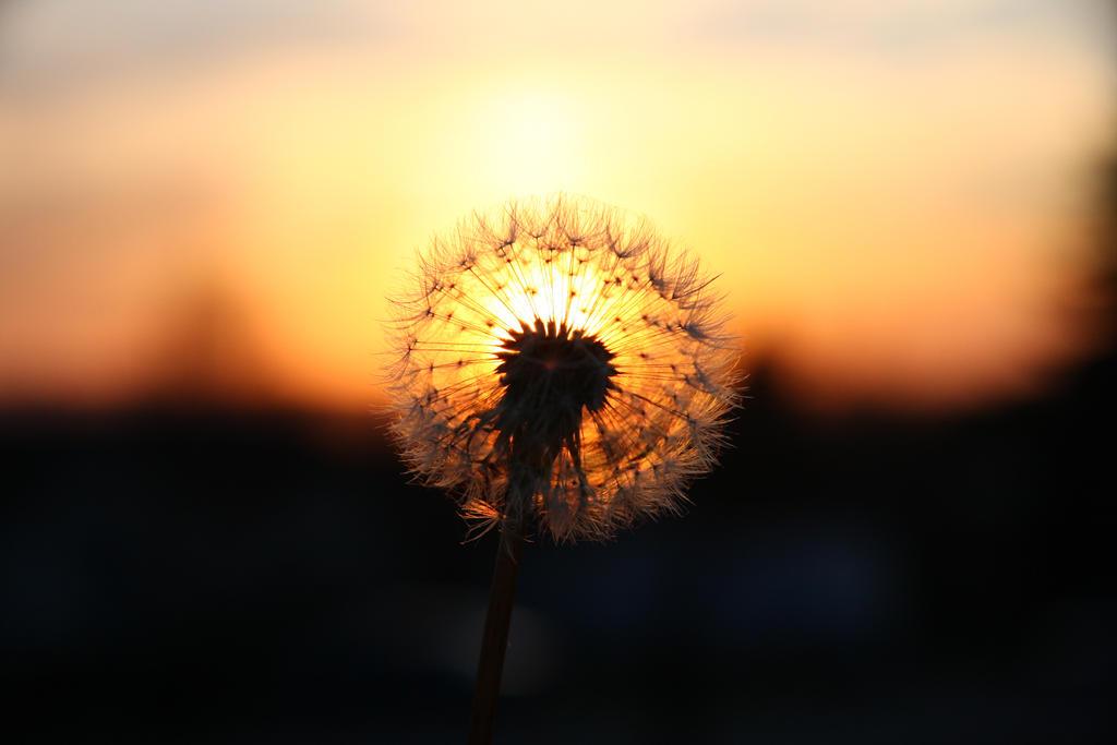 dandelion sunset related keywords - photo #4