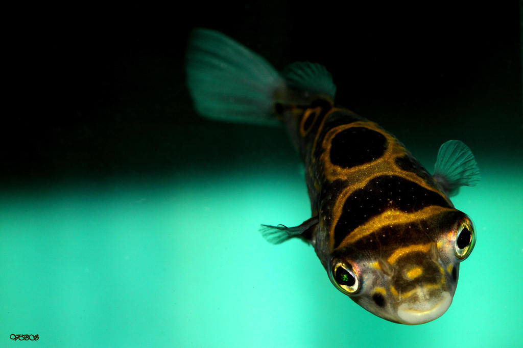 Figure Eight Puffer By Vonburgherstein On Deviantart