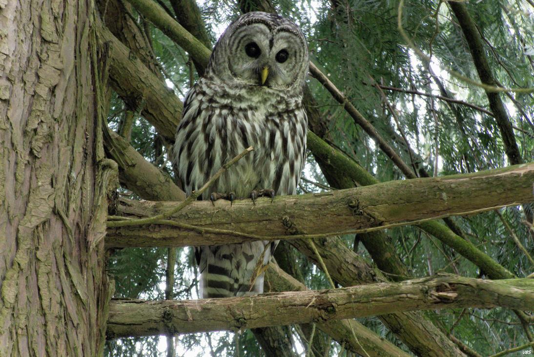 Owl by Vonburgherstein