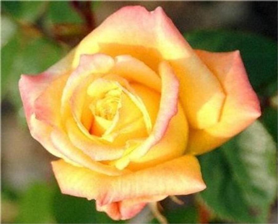 Rose by RomShuvano